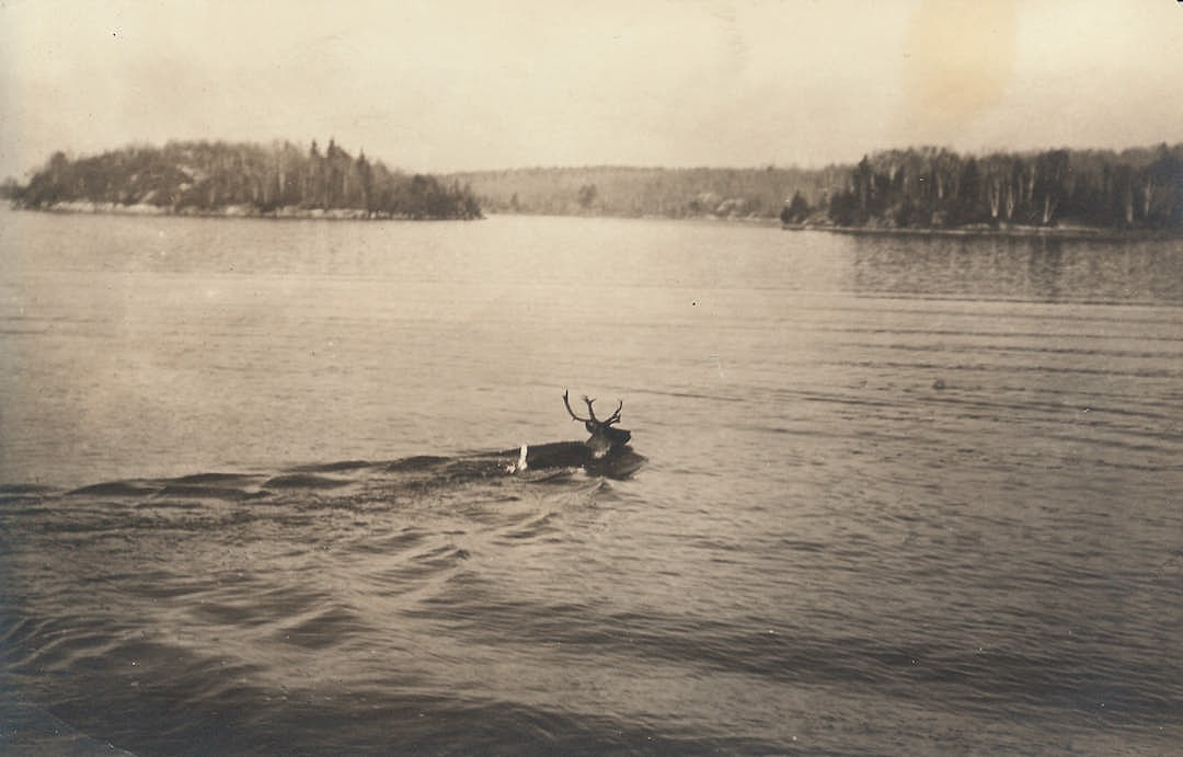 Caribou swimming on Lake of the Woods, photography by Carl Linde